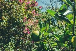 Buganvillas and lemons